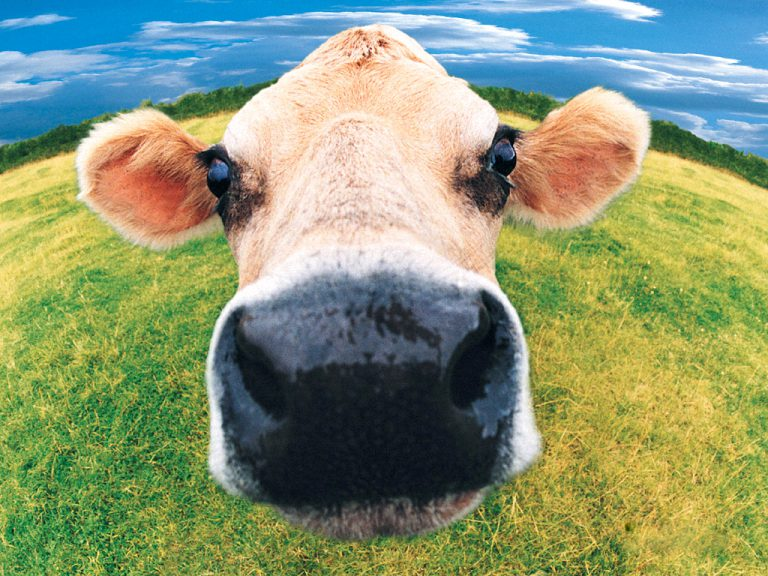 funny_cow-4594